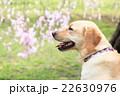 枝垂れ桜綺麗だね♪ 22630976
