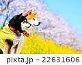 柴犬 お花見 赤柴の写真 22631606