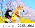 柴犬 お花見 赤柴の写真 22631608