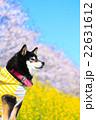 犬 お花見 黒柴の写真 22631612