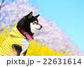犬 お花見 黒柴の写真 22631614