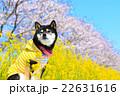 お花見 黒柴 柴犬の写真 22631616