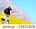 犬 お花見 黒柴の写真 22631628