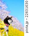 お花見 黒柴 柴犬の写真 22631630