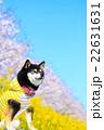 犬 お花見 黒柴の写真 22631631