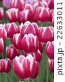 紅白のチューリップ 22633011