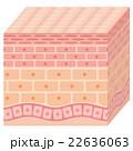 肌 断面 断面図のイラスト 22636063