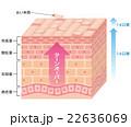 肌 断面図 細胞のイラスト 22636069