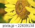 ひまわりとミツバチ 22639138