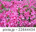 ピンクの花 22644434