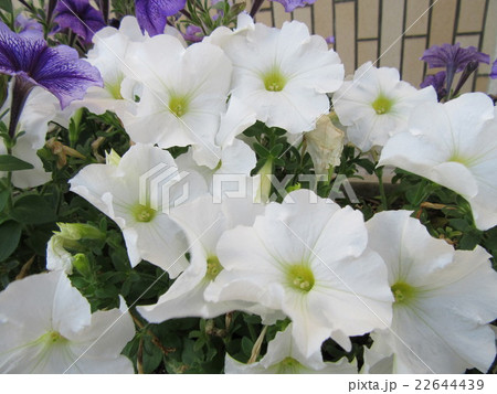 白い花 22644439