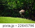 ダチョウ目 ダチョウ科 鳥の写真 22645796