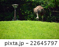ダチョウ目 ダチョウ科 鳥の写真 22645797