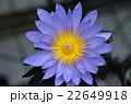 蓮 紫 22649918