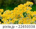 シロタエギク 花 キク科の写真 22650338