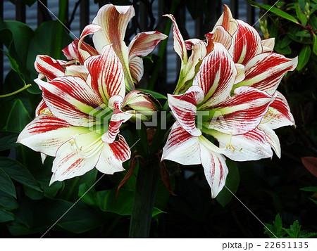 アマリリスの名はローマの詩人が作った歌の羊飼いの娘の名だ。華やかで清楚な花である。 22651135
