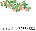 桃の木 水彩イラスト 22654888