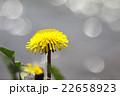たんぽぽ 22658923