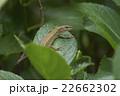 ニホンカナヘビ トカゲ カナヘビの写真 22662302