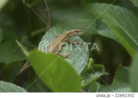 アジサイの葉の上でふりむくトカゲ 22662302