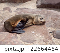 Young brown fur seal sleaping on the rock 22664484