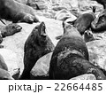 アザラシ 動物 トドの写真 22664485