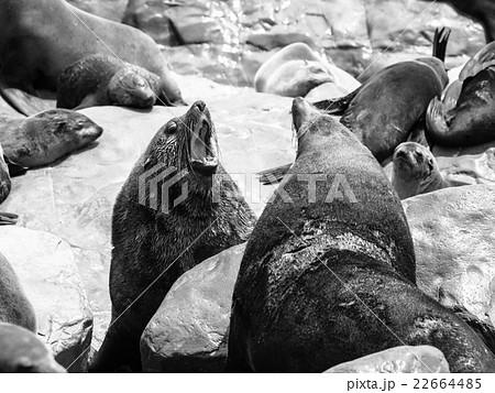 Brown fur seals fight 22664485