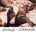 Brown fur seals fight 22664486