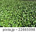 池の植物 22665098
