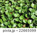 池の植物 22665099
