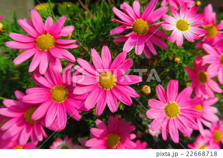 マーガレットの花 22668718