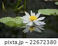 蓮の花 22672380
