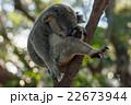 木の上で丸まって眠るコアラ 22673944