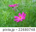 ピンク色のコスモス 22680748