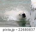 ホッキョクグマ 白くま 食肉目クマ科の写真 22680837