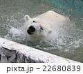 ホッキョクグマ 白くま 食肉目クマ科の写真 22680839
