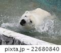 ホッキョクグマ 白くま 食肉目クマ科の写真 22680840