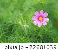 ピンク色の濃淡のコスモス 22681039