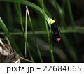 発光 ゲンジボタル 蛍の写真 22684665