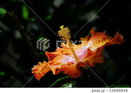妖艶な花 22690848