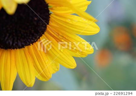 朝露に濡れたヒマワリの花 22691294