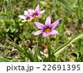 一際目立つ薄紫色の小さな花はニワゼキショウ 22691395