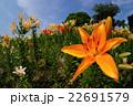 太陽のような花々 22691579