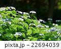 紫陽花 花 ガクアジサイの写真 22694039