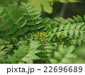 山椒の花(木の芽) 22696689