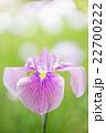 花菖蒲 花 アヤメ科の写真 22700222