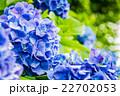 飛鳥山公園紫陽花小路 22702053