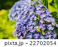 飛鳥山公園紫陽花小路 22702054