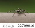 生き物 蜘蛛 マダラスジハエトリ、オスです。人がいても構わず餌探しに専念しています 22709010
