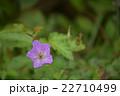 三瓶山に咲く山花 22710499